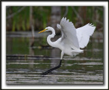 GRANDE AIGRETTE  /  GREAT EGRET    _MG_2099 a