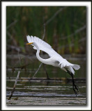 GRANDE AIGRETTE  /  GREAT EGRET    _MG_2106 a