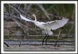 GRANDE AIGRETTE  /  GREAT EGRET    _MG_2108 a