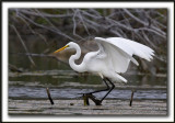 GRANDE AIGRETTE  /  GREAT EGRET    _MG_2116 a