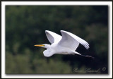 GRANDE AIGRETTE  /  GREAT EGRET    _MG_2495 a