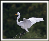 GRANDE AIGRETTE  /  GREAT EGRET    _MG_2509 a