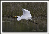 GRANDE AIGRETTE  /  GREAT EGRET    _MG_2603 a