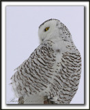 HARFANG DES NEIGES  -  SNOWY OWL    _MG_8000 a Crop