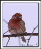 ROSELIN FAMILIER, mâle  /  HOUSE FINCH, male    _MG_8327 a