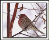 ROSELIN FAMILIER, mâle  /  HOUSE FINCH, male    _MG_8363 a