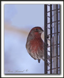 ROSELIN FAMILIER, mâle  /  HOUSE FINCH, male    _MG_9252 a