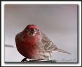 ROSELIN FAMILIER, mâle  /  HOUSE FINCH, male    _MG_8374 a