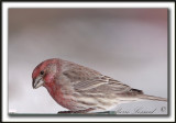 ROSELIN FAMILIER, femelle   /  HOUSE FINCH, female    _MG_8368 a