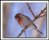 ROSELIN FAMILIER, mâle  /  HOUSE FINCH, male    _MG_9210 a