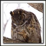 Observez la grosseur des pattes et griffes, GRAND-DUC D'AMÉRIQUE /  Look size of that paw and claws,GREAT HORNED OWL  _MG_9809 a