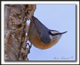 SITTELLE À POITRINE ROUSSE  /  RED-BREASTED NUTHATCH