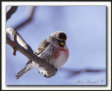SIZERIN FLAMMÉ  /  COMMON REDPOLL   _MG_0210 a