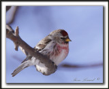 SIZERIN FLAMMÉ  /  COMMON REDPOLL   _MG_0219 a