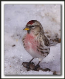 SIZERIN FLAMMÉ  /  COMMON REDPOLL   _MG_0308 a