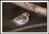 SIZERIN FLAMMÉ  /  COMMON REDPOLL   _MG_0918 a