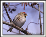 SIZERIN FLAMMÉ  /  COMMON REDPOLL   _MG_1267 a