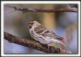 SIZERIN FLAMMÉ  /  COMMON REDPOLL   _MG_1285 a