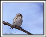 SIZERIN BLANCHÂTRE   /    HOARY REDPOLL   _MG_0464 a