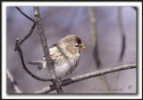 SIZERIN BLANCHÂTRE   /    HOARY REDPOLL   _MG_1123 a