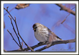 SIZERIN BLANCHÂTRE   /    HOARY REDPOLL   _MG_1241 a