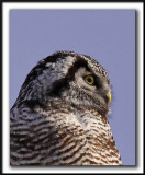 CHOUETTE ÉPERVIÈRE /  NORTHERN HAWK OWL    _MG_6197 aa   Crop