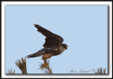 OISEAUX DE PROIE  /   BIRDS OF PREY