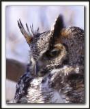 GRAND-DUC D'AMÉRIQUE   /   GREAT HORNED OWL  ( Domaine de Maizerets, ville de Québec )