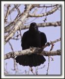 CORNEILLE D'AMÉRIQUE  /  AMERICAN CROW   -  Elle a l'air agressive  /  this crow look alike aggressive     _MG_1560 a