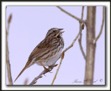 BRUANT CHANTEUR  /  SONG SPARROW   -   Marais provencher    _MG_1987 a