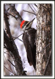 GRAND-PIC   /   PILEATED WOODPECKER    _MG_3574 a  -  Marais Provencher
