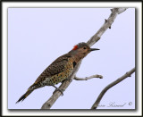 PIC FLAMBOYANT / NORTHERN FLICKER    _MG_2615 a