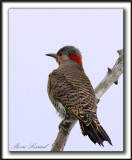 PIC FLAMBOYANT / NORTHERN FLICKER    _MG_2618 a
