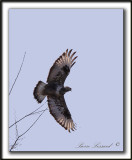 BUSE PATTUE, phase foncée  /   ROUGH-LEGGED HAWK, dark phase     _MG_2585 a