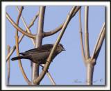 VACHER À TÊTE BRUNE, femelle  /   BROWN-HEADED COWBIRD, female    _MG_3287 a