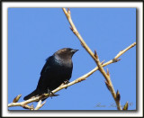 VACHER À TÊTE BRUNE, mâle   /   BROWN-HEADED COWBIRD, male    _MG_4109aa