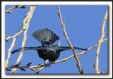 VACHER À TÊTE BRUNE, mâle   /   BROWN-HEADED COWBIRD, male    _MG_4114aa   -  SALUT ,  pour impressionner  /  to impress