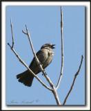 VACHER À TÊTE BRUNE, femelle  /   BROWN-HEADED COWBIRD, female    _MG_9671aa