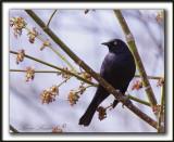 QUISCALE ROUILLEUX -  RUSTY BLACKBIRD    _MG_2955 a   -  Marais Provencher