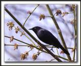 QUISCALE ROUILLEUX -  RUSTY BLACKBIRD    _MG_2959 a   -  Marais Provencher