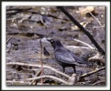 QUISCALE ROUILLEUX -  RUSTY BLACKBIRD    _MG_2978 a   -  Marais Provencher