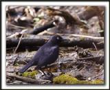 QUISCALE ROUILLEUX -  RUSTY BLACKBIRD    _MG_2998 a   -  Marais Provencher