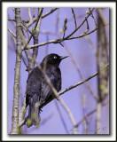 QUISCALE ROUILLEUX -  RUSTY BLACKBIRD    _MG_3049 a   -  Marais Provencher