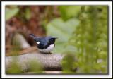 PARULINE BLEUE  /  BLACK-THROATED BLUE WARBLER    _MG_6180 a a