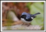 PARULINE BLEUE  /  BLACK-THROATED BLUE WARBLER    _MG_6185 a a