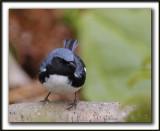 PARULINE BLEUE  /  BLACK-THROATED BLUE WARBLER    _MG_6187 a