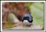 PARULINE BLEUE  /  BLACK-THROATED BLUE WARBLER    _MG_6189 a