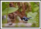 PARULINE BLEUE  /  BLACK-THROATED BLUE WARBLER    _MG_6185 a