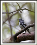 PARULINE NOIR ET BLANC   /    BLACK AND WHITE WARBLER     _MG_5153 a