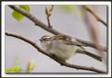 BRUANT FAMILIER  /  CHIPPING SPARROW   _MG_5281 a